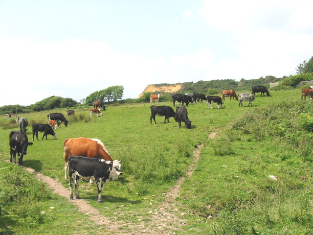 Cattle grazing at Westhay Farm - geograph.org.uk - 94092