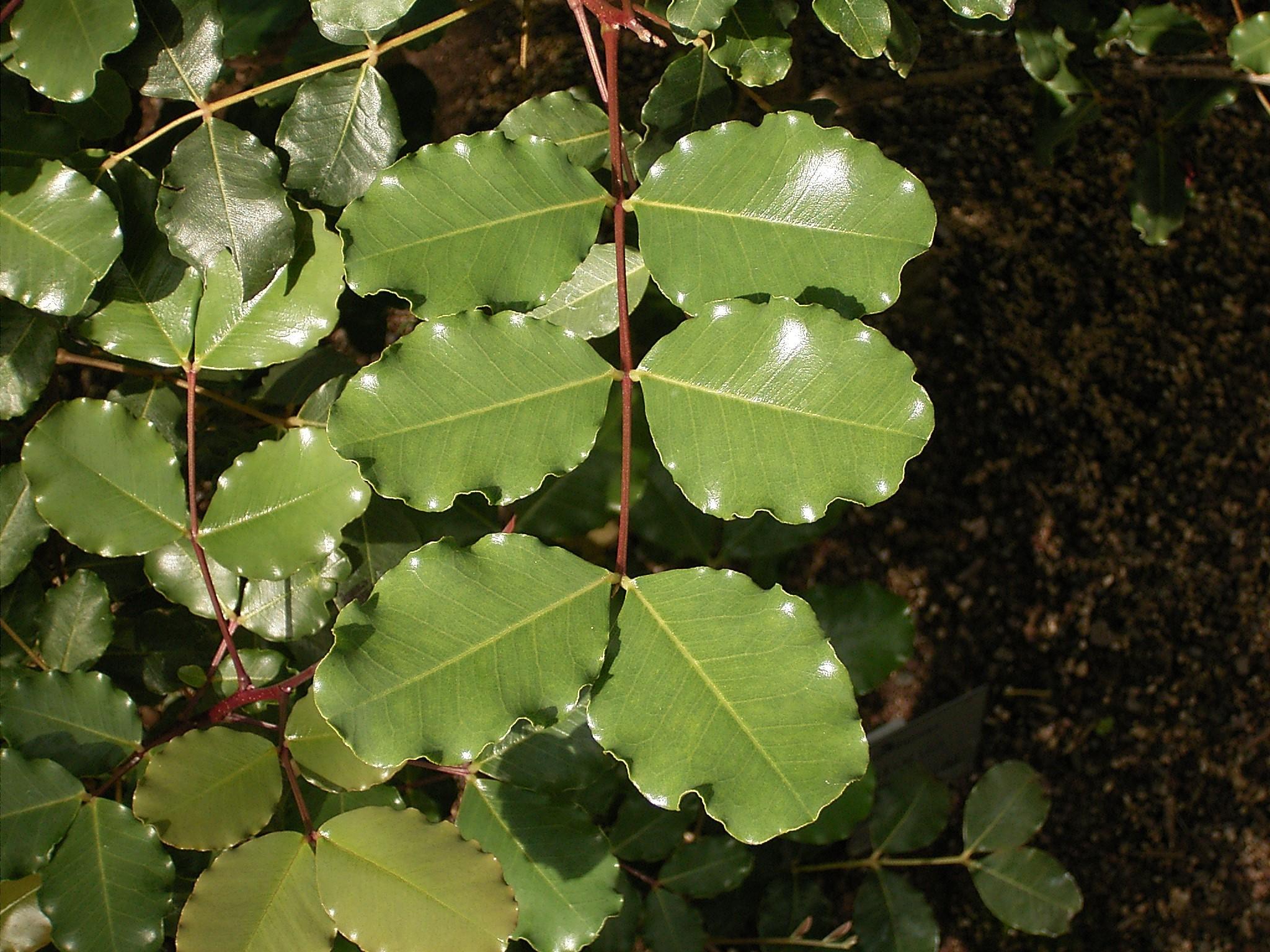 Ceratonia siliqua 02 ies.jpg