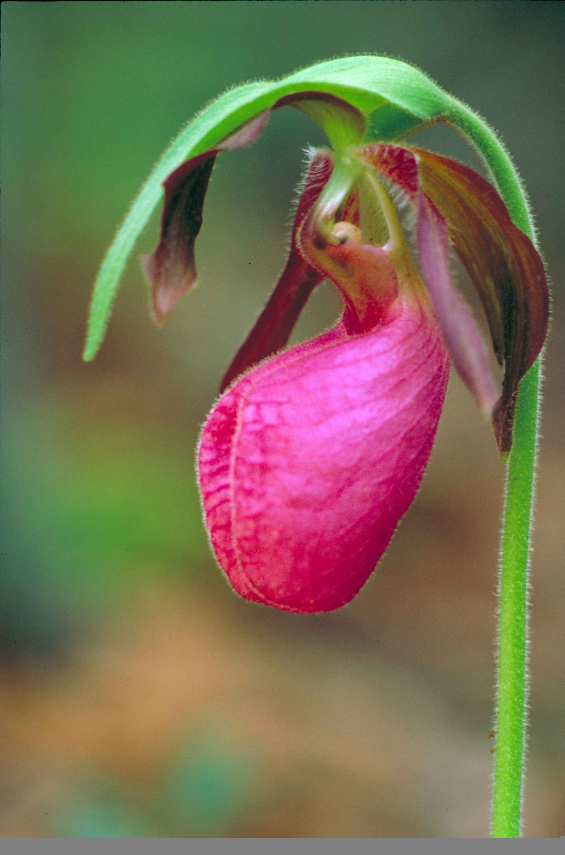 File Close up of dark pink lady slipper orchid or moccasin flower cypripedium