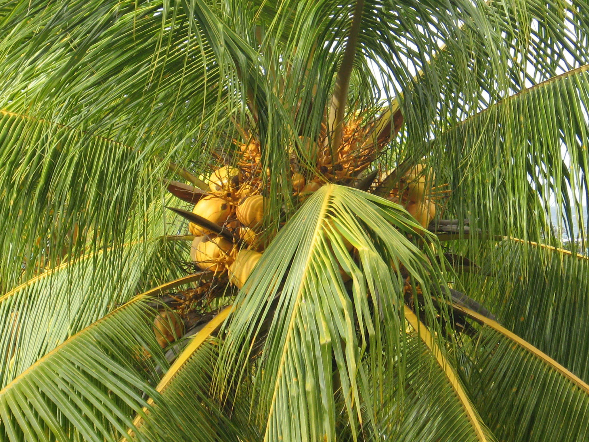 coconut tree The coconut tree is a large, single-trunked palm with a smooth trunk in a light gray-brown color the leaves or fronds are long and thin, topping the tree like a crown.