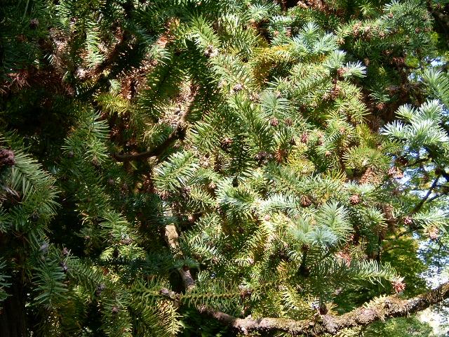 arbre cunninghamia