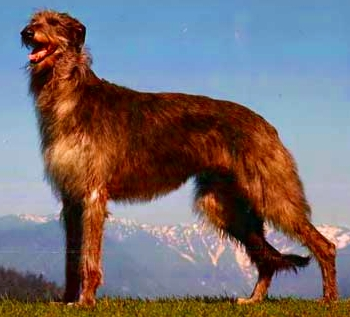 Granule Deerhound