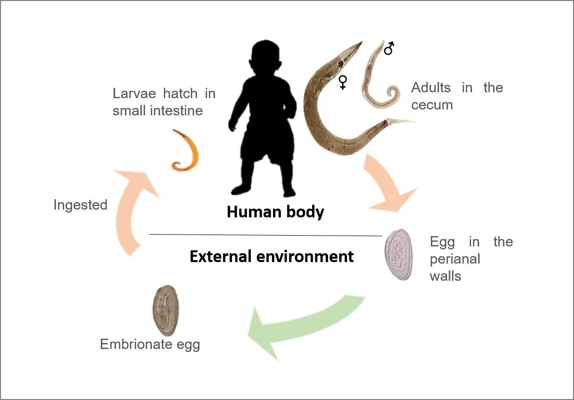 enterobius vermicularis ciclo)