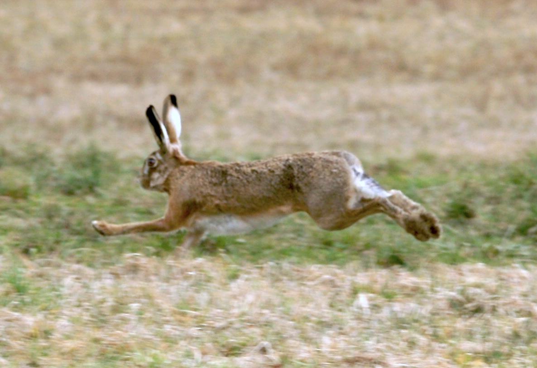 I Am Free To Run File:Feldhase, Lepus e...