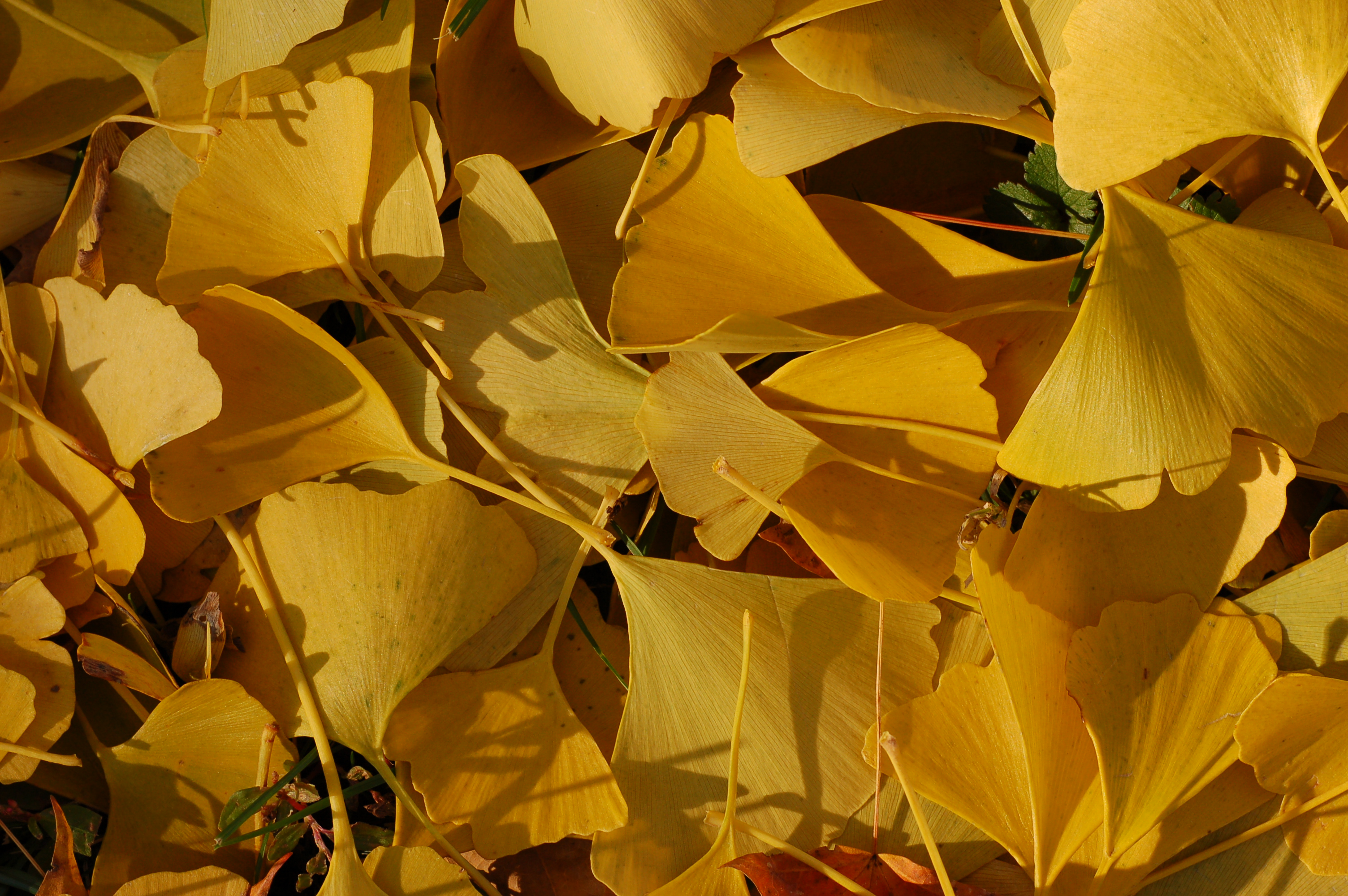 File Ginkgo Tree Ginkgo Biloba Autumn Leaves 3008px Jpg