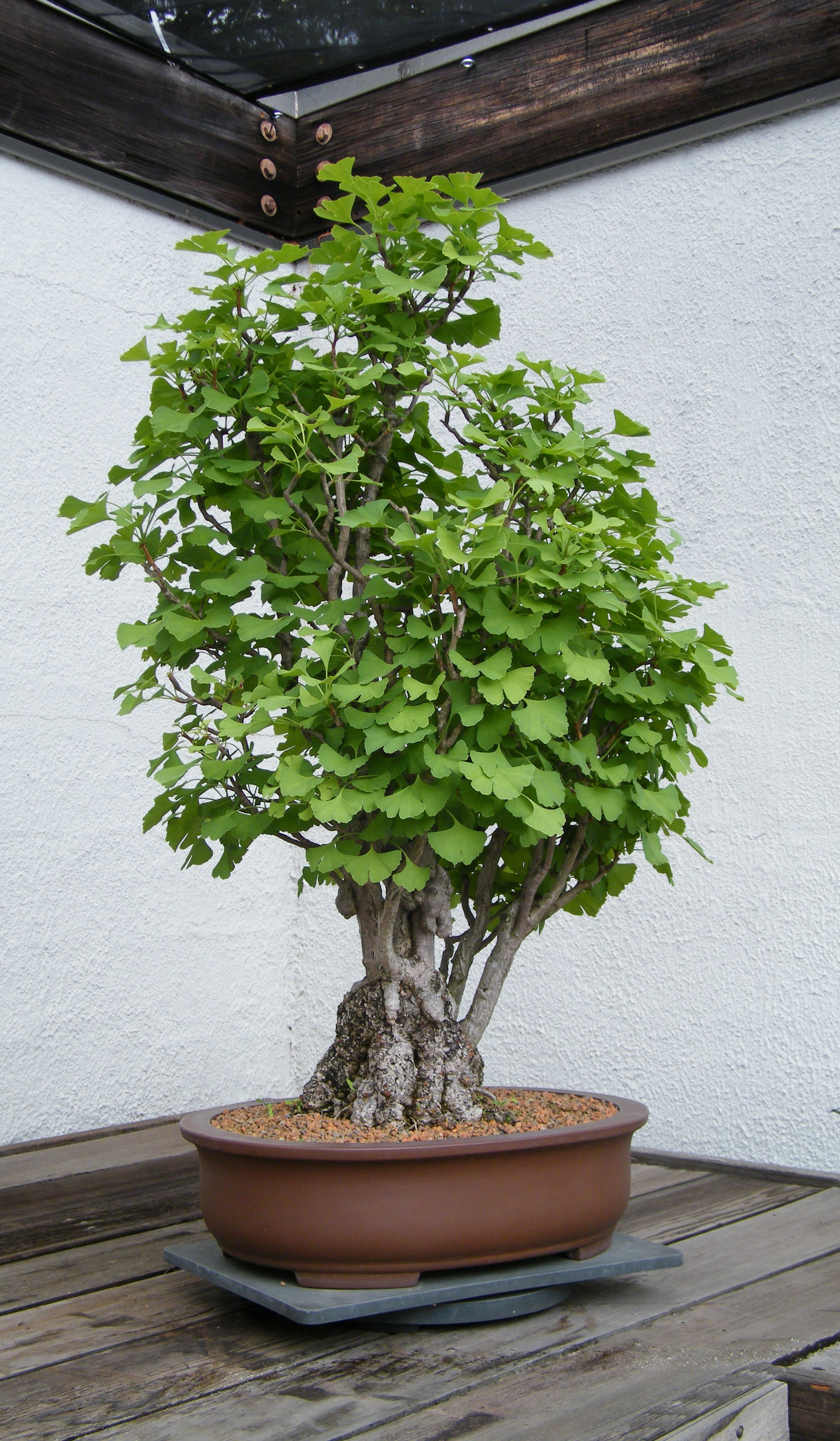 file ginkgo bonsai national bonsai penjing museum. Black Bedroom Furniture Sets. Home Design Ideas