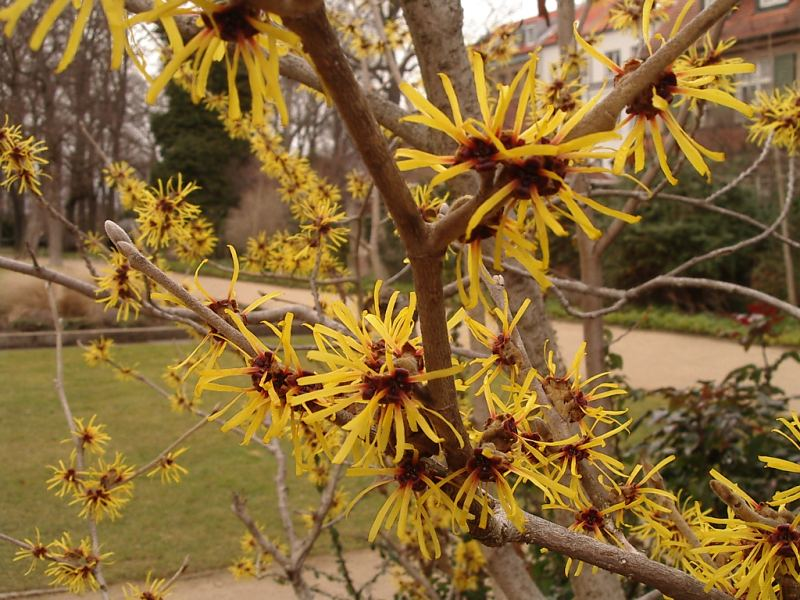 File:Hamamelis Flower.jpg