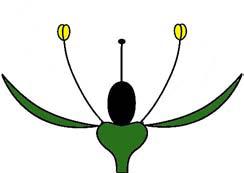 Haplochlamyde