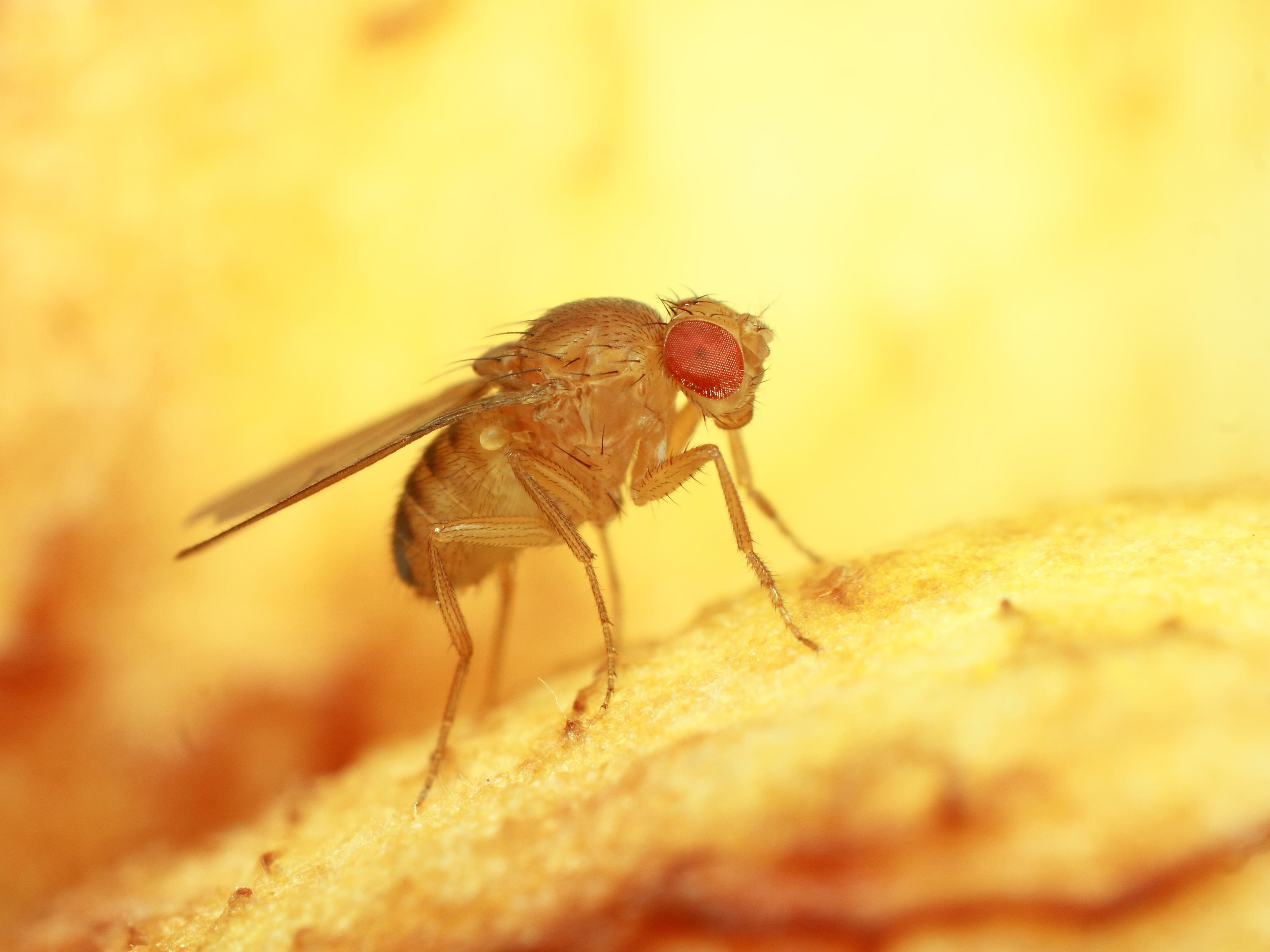 Resultado de imagen de drosophila melanogaster
