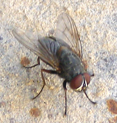 Fichier:House Fly on Wall.jpg