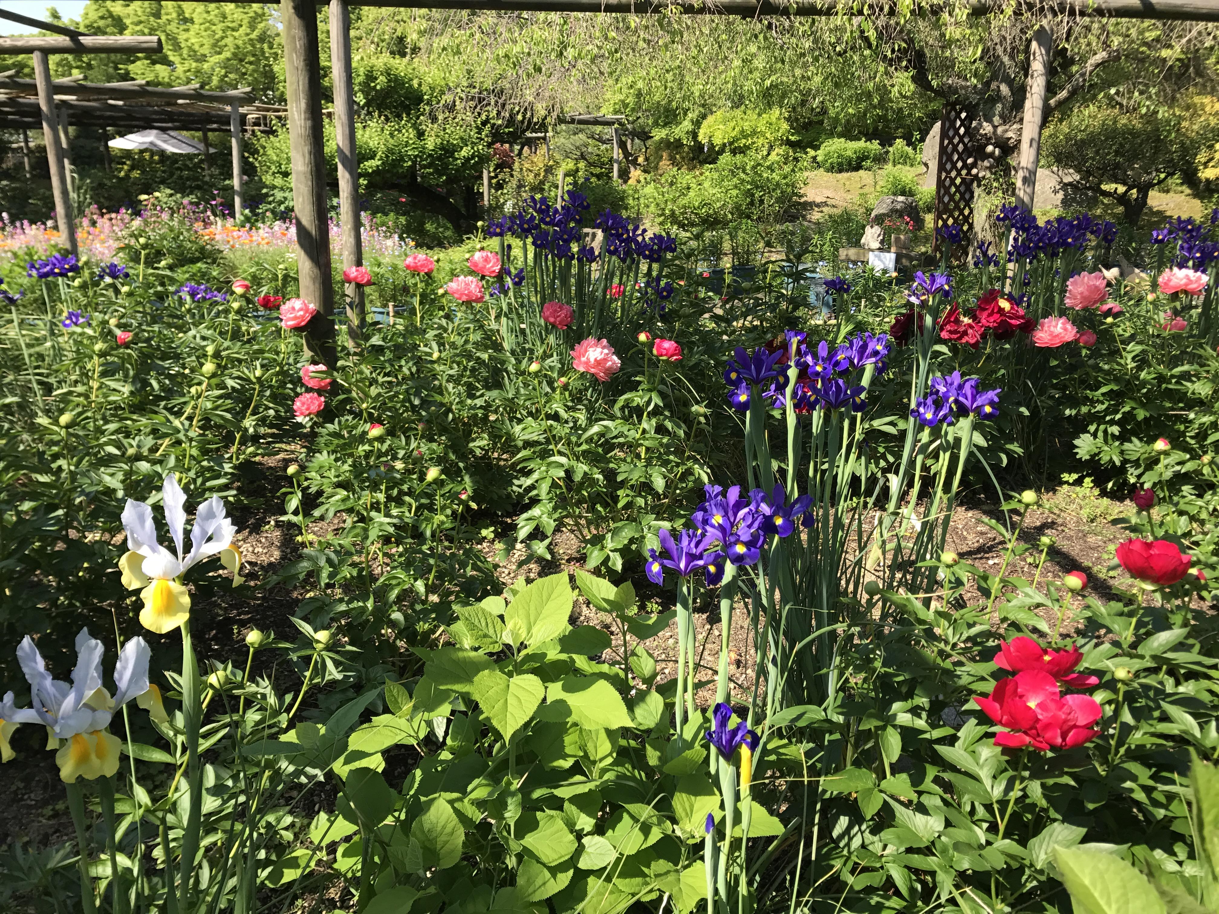 Fileiris flowers in flower garden of hakozaki shrineg fileiris flowers in flower garden of hakozaki shrineg izmirmasajfo