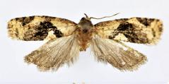 <i>Isodemis guangxiensis</i> Species of moth