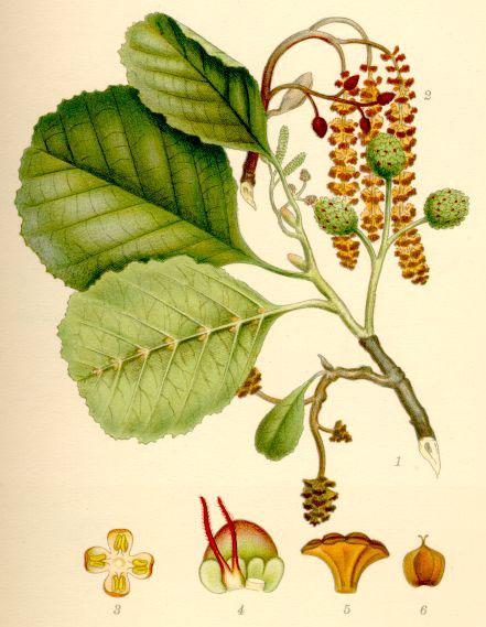 Alnus glutinosa — Wikipédia