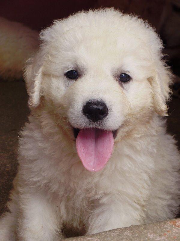 Kuvasz Dog