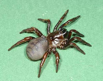 Angelina Jolie Trapdoor Spider