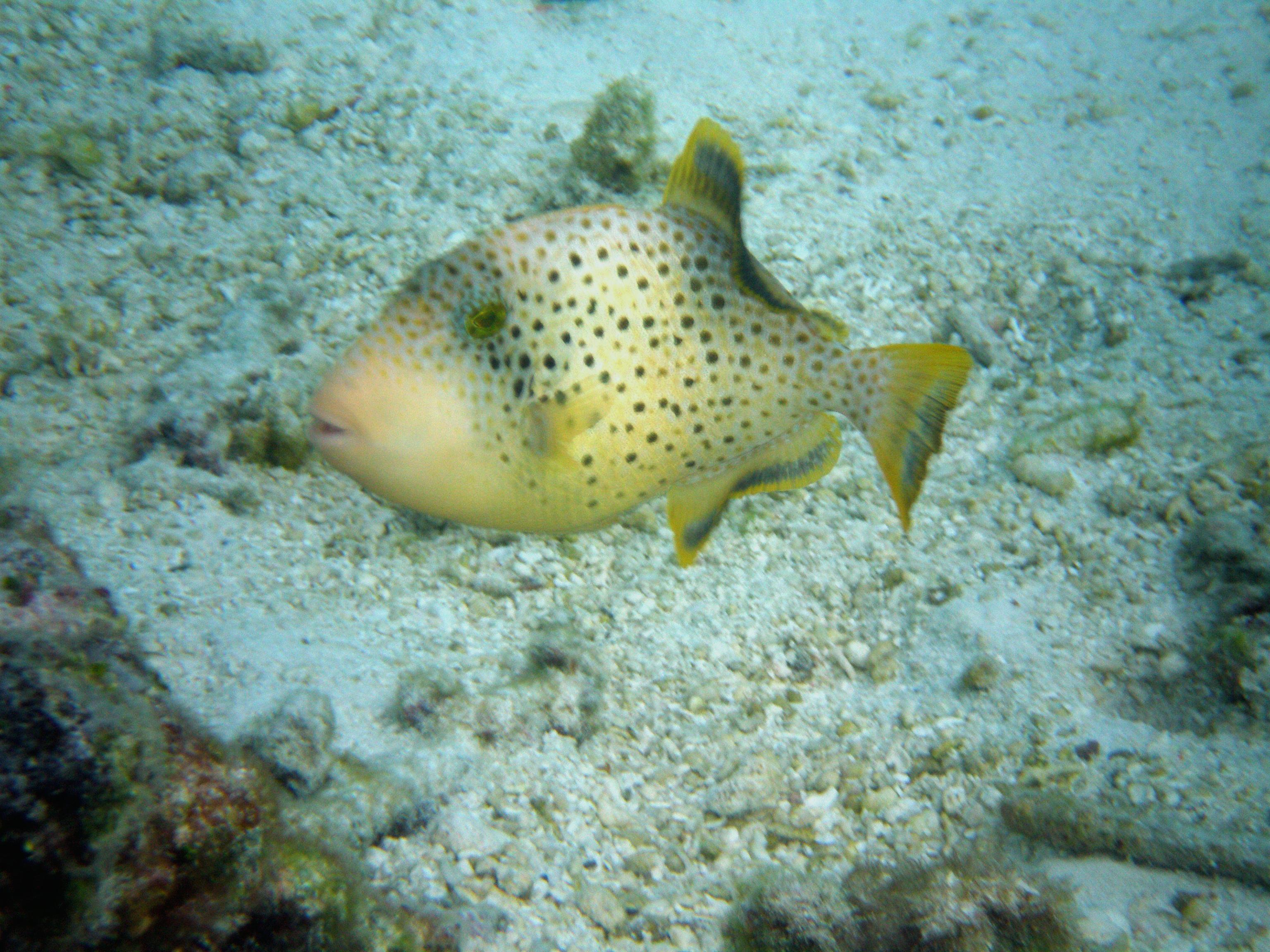Http Commons Wikimedia Org Wiki File Maldives Fish Jpg