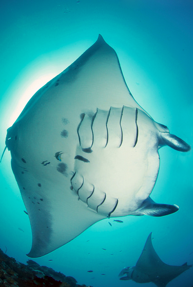 File:Manta rays, Maldives.png