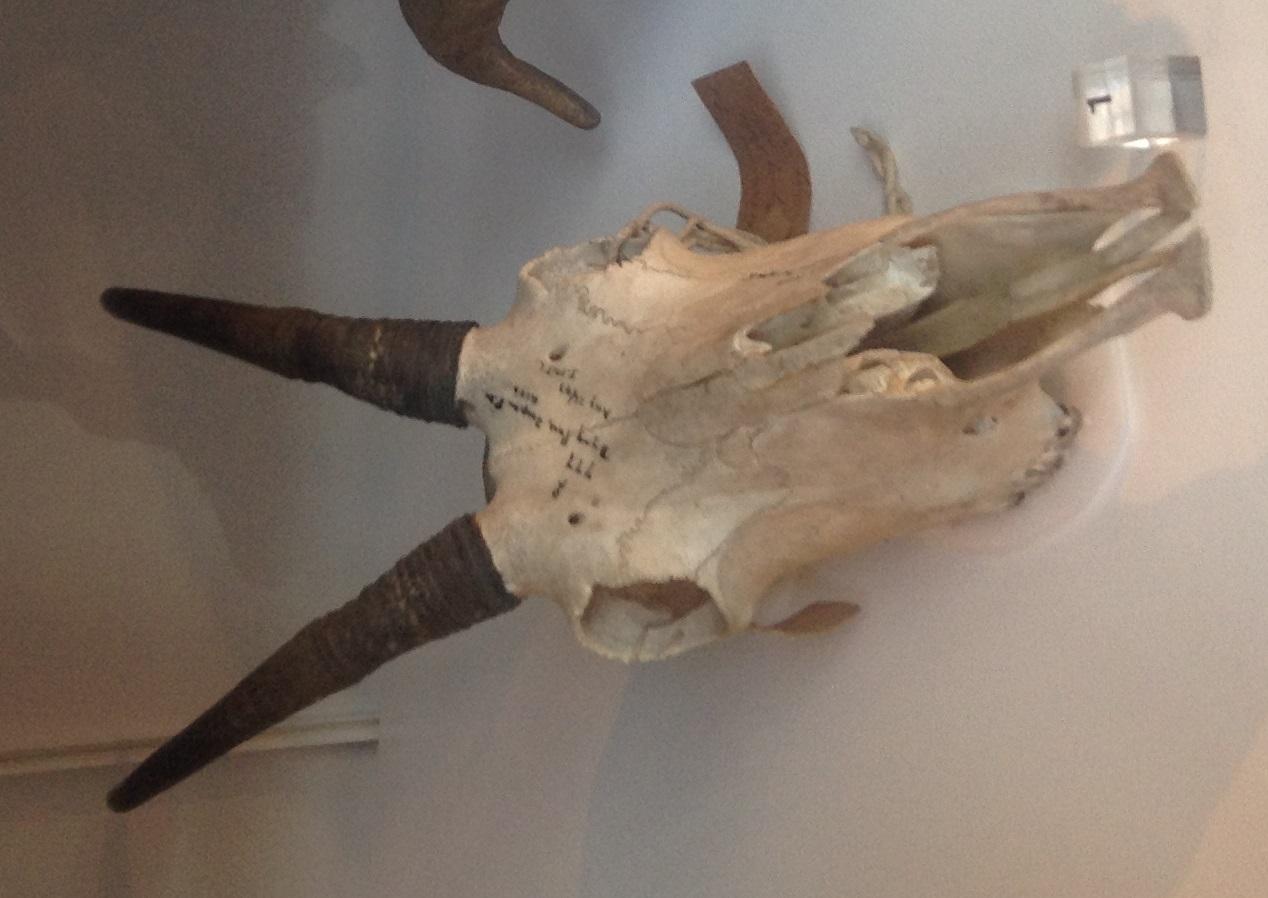 Mountain goat skull - photo#21