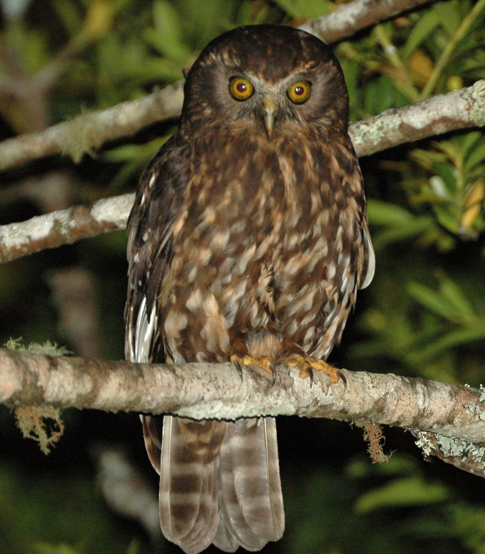 Morepork (ruru) - from Wikimedia Commons