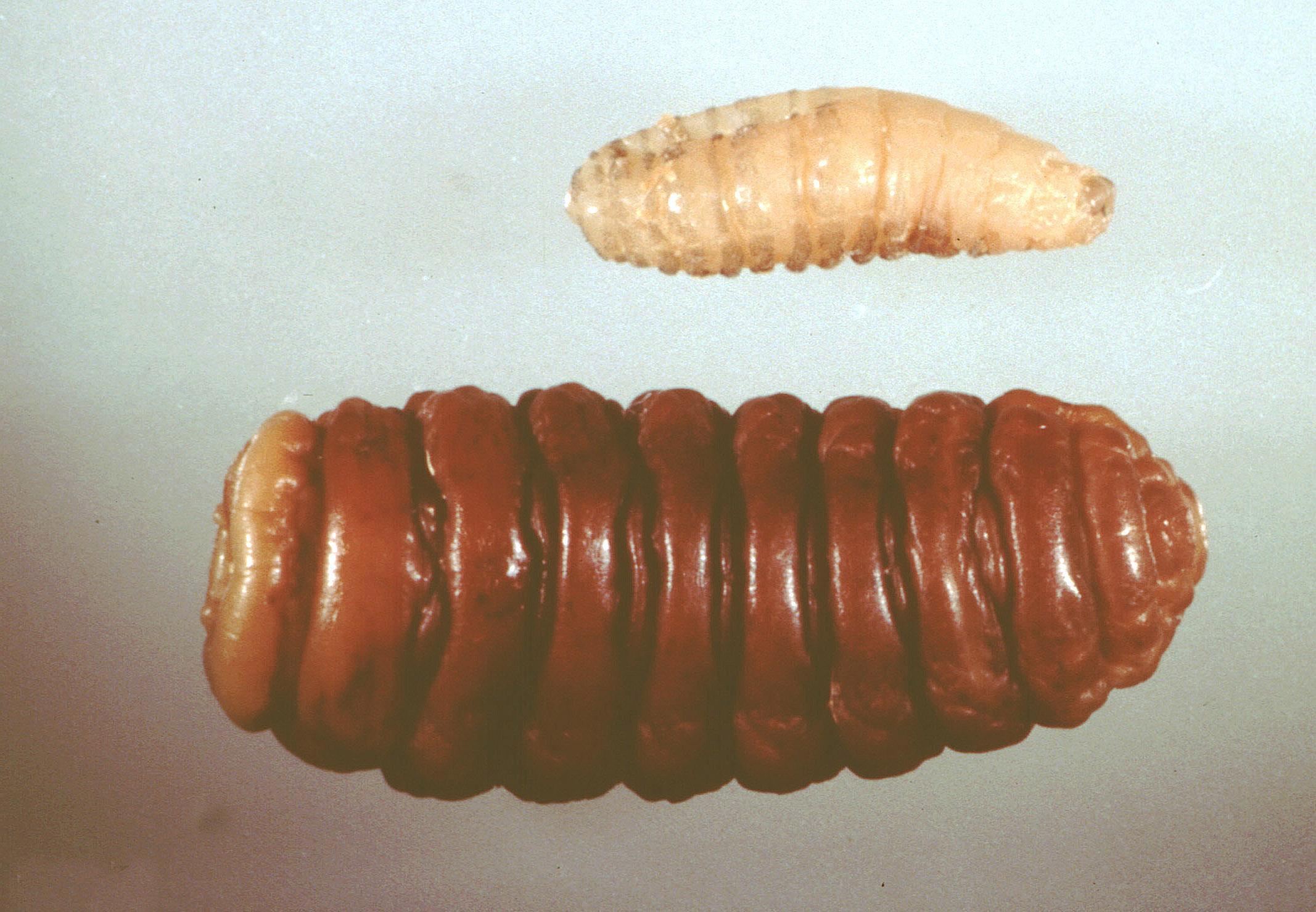 File:Oestrus-ovis-larv... Nasal Myiasis
