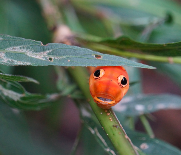 Orange_Spicebush_Swallowtail_Caterpillar_1.png