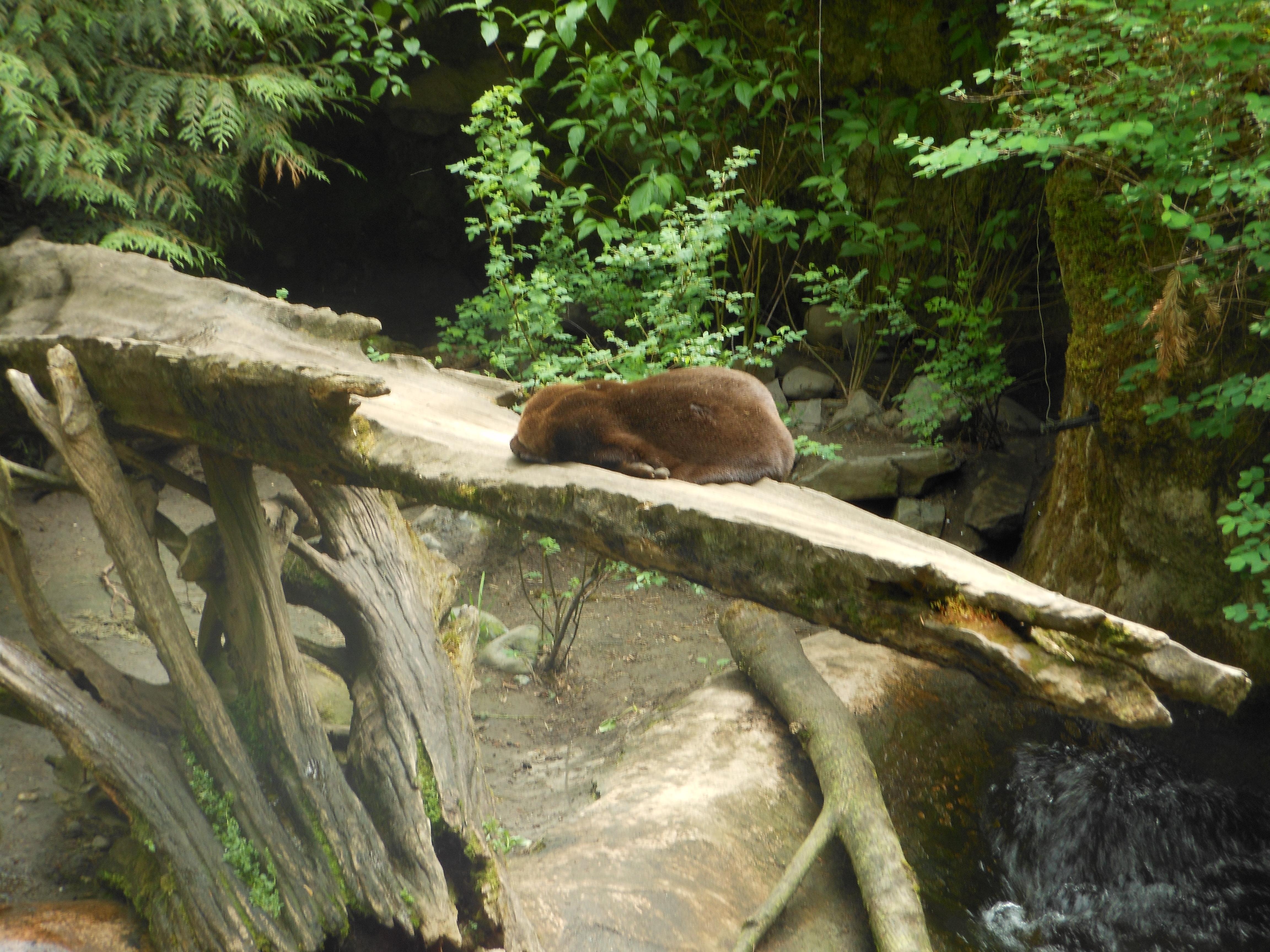 File:Otter, sleeping on a split log - panoramio jpg - Wikimedia Commons