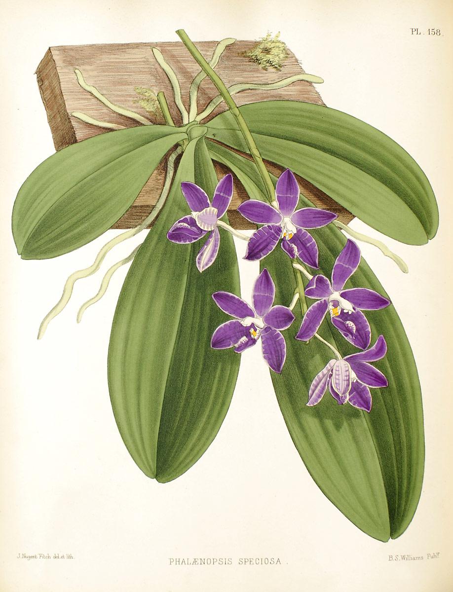 Discussion autour de Phalaenopsis tetraspis et speciosa Phalaenopsis_speciosa