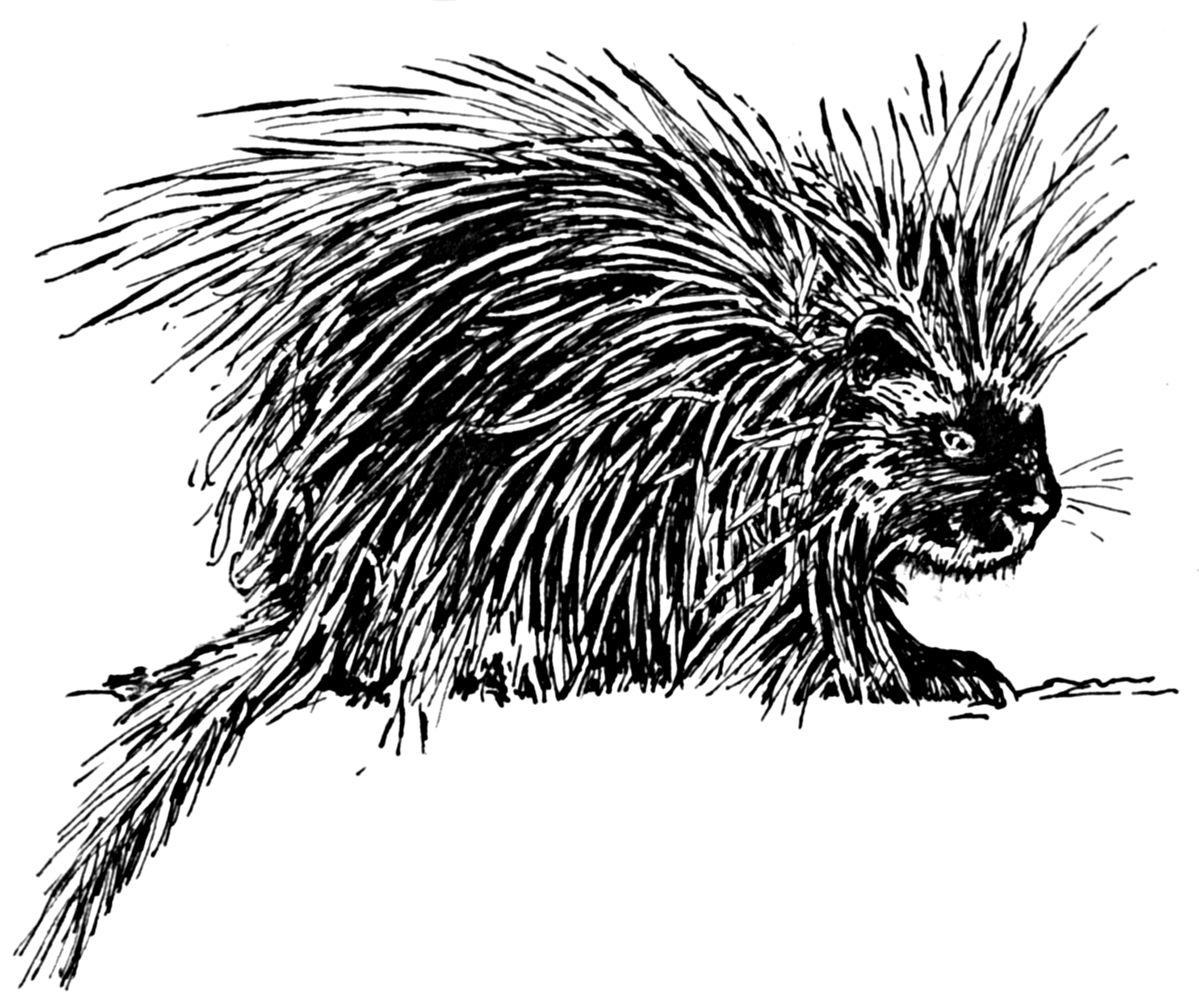 file porcupine 2 psf png wikimedia commons
