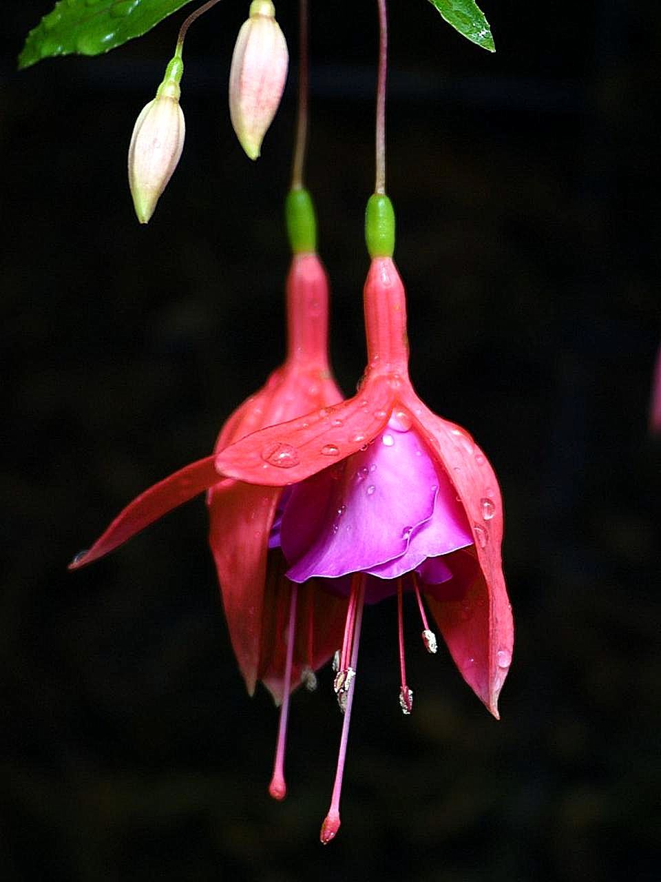 File Purple Red Flowers On Tree Jpg Wikimedia Commons