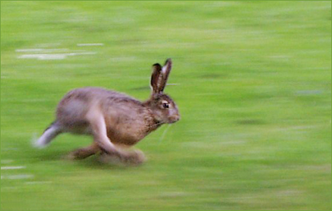 File:Running hare.jpg - Wikimedia Commons