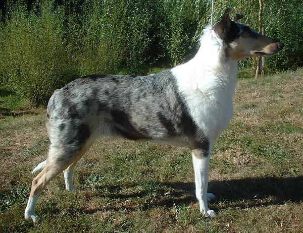 Blue australian shepherd border collie mix dog breeds picture