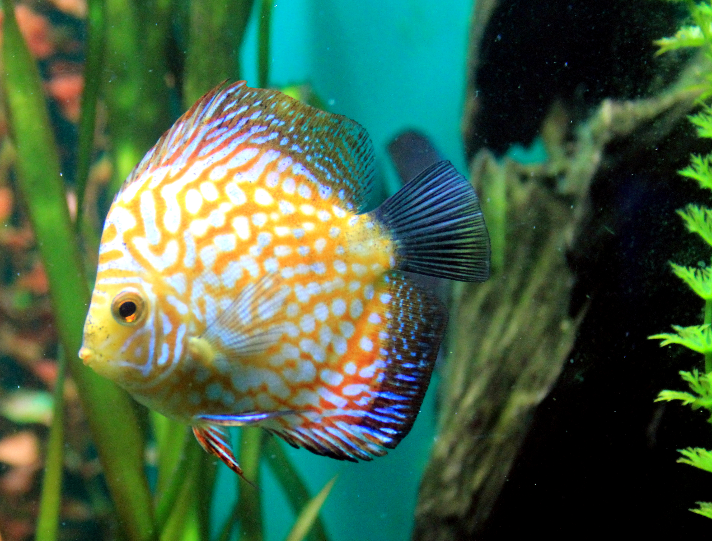 File symphysodon haraldi prague 2011 wikimedia commons for Keeping discus fish