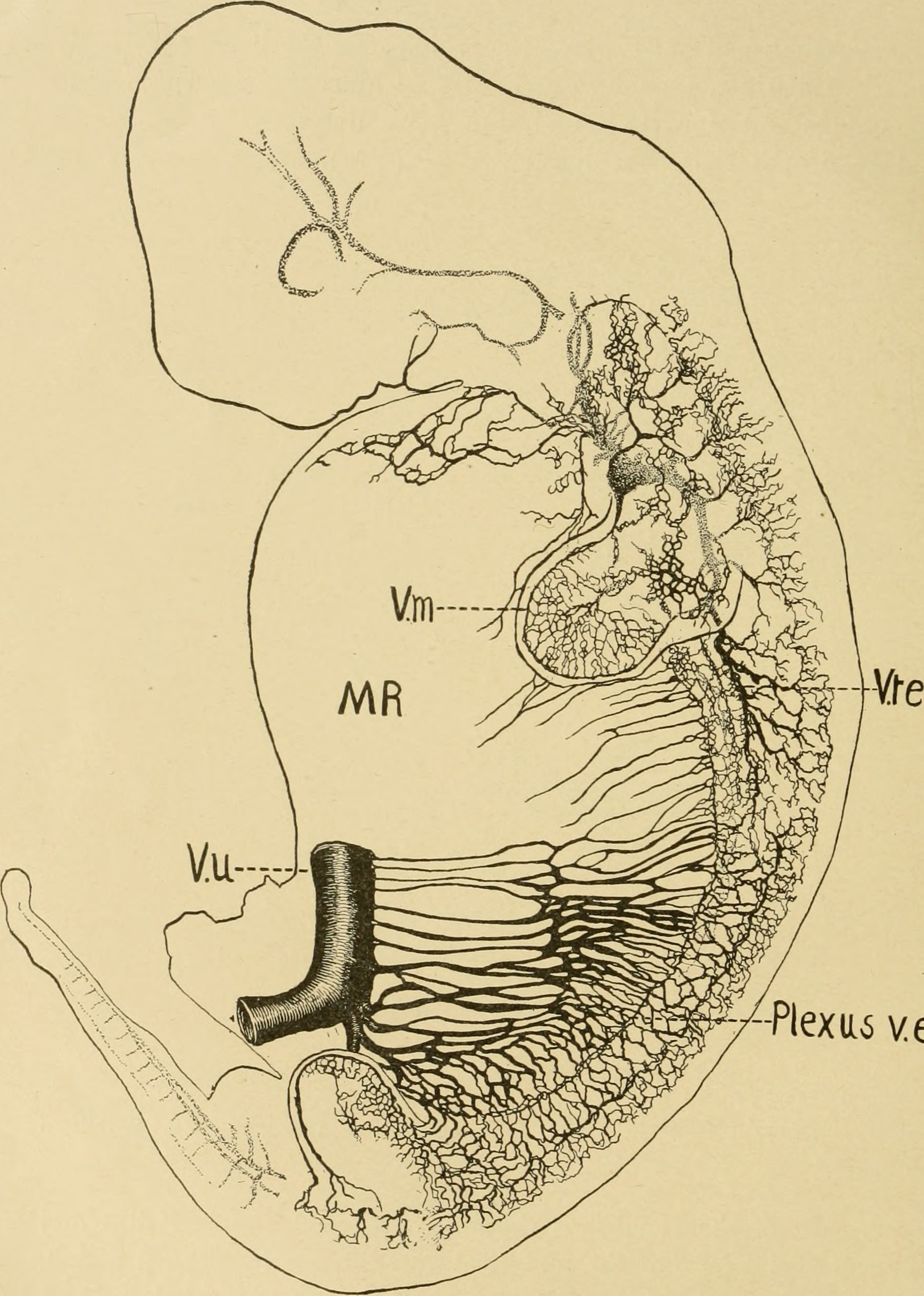 File:The American journal of anatomy (1909) (17534161903).jpg ...