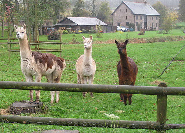 Three alert alpacas - geograph.org.uk - 1575835
