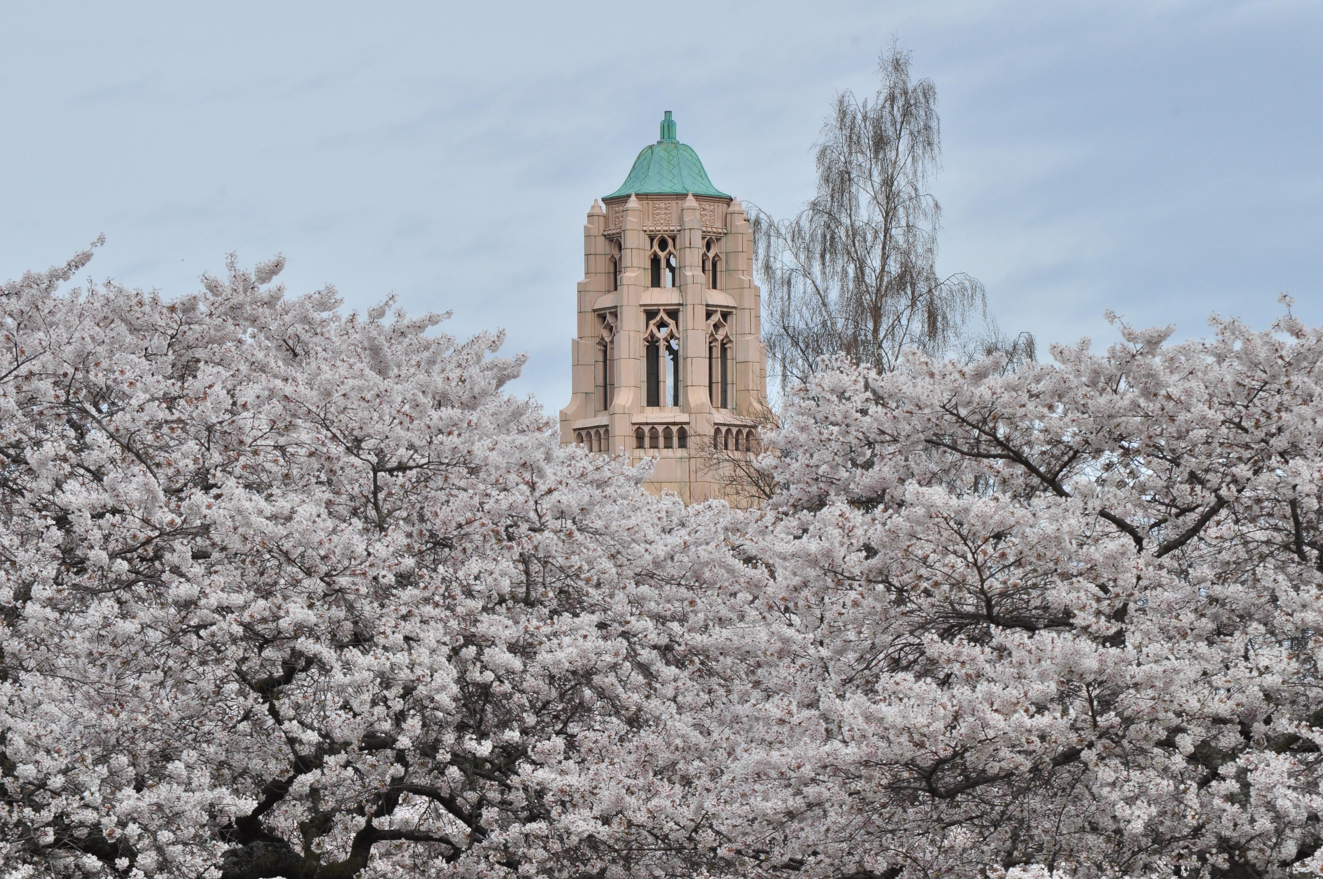 University of Washington Cherry Blossom 2014
