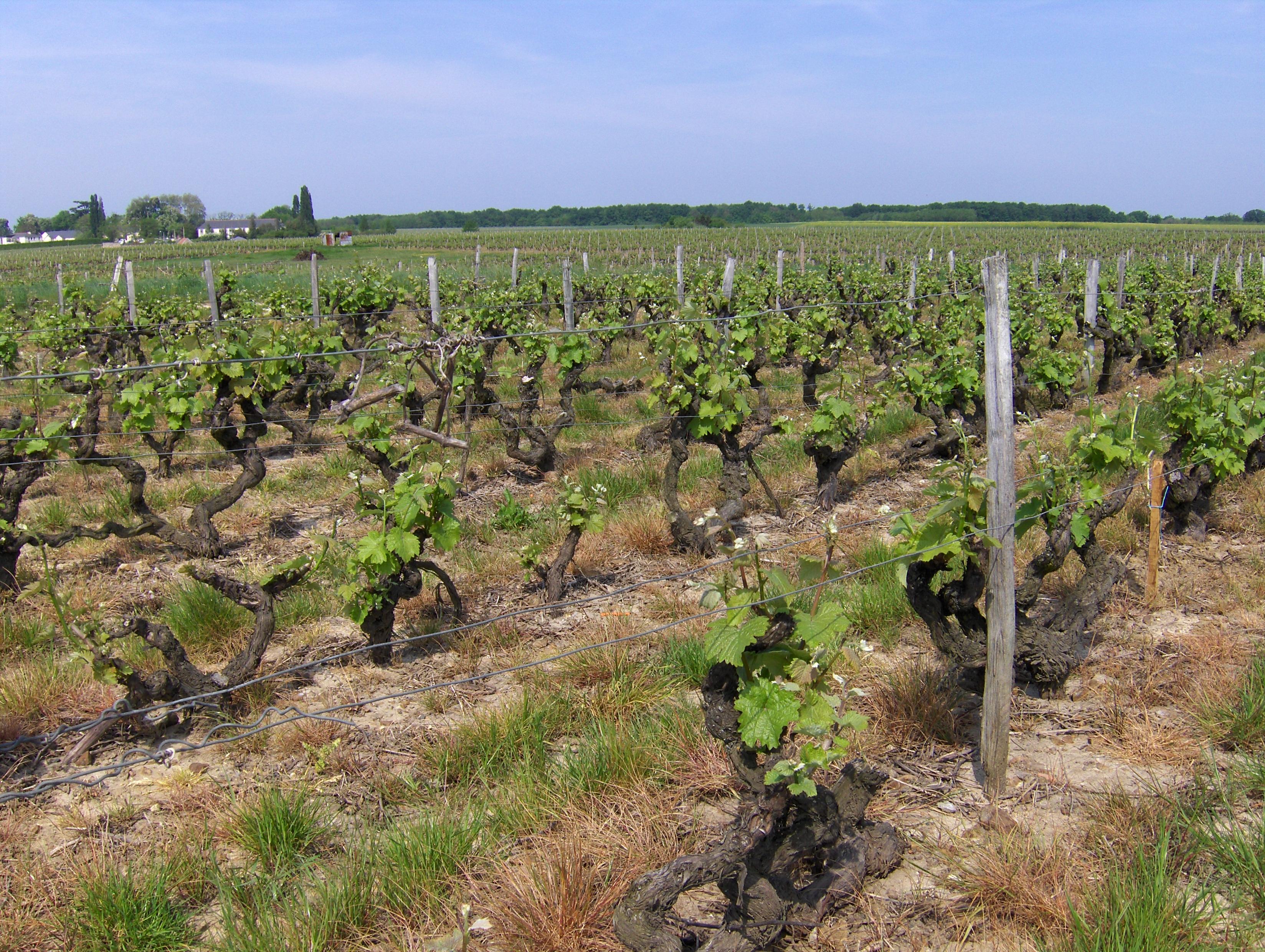 Vine Training Wikipedia