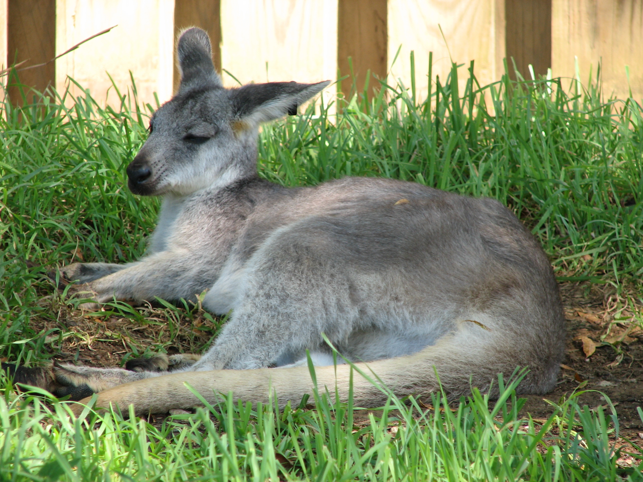 wallaroo - photo #16