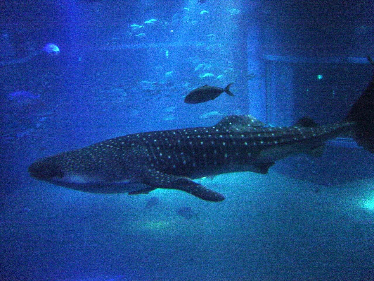 Aquarium Sharks : File:Whale Shark at Osaka Aquarium.jpg - Wikimedia Commons