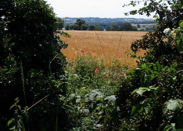 Wheat field, Hollowell - geograph.org.uk - 194374