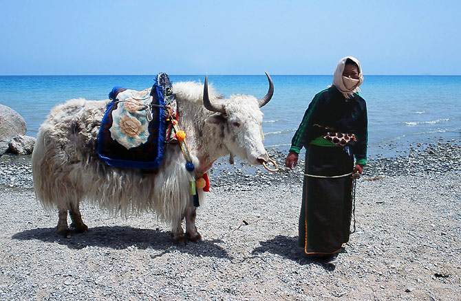 Woman with yak at Qinghai Lake.jpg