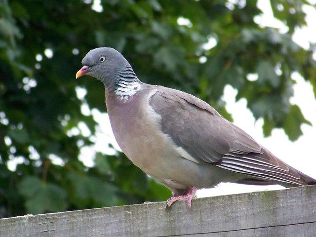 File:Woodpigeon (Columba palumbus) - geograph.org.uk - 887695.jpg