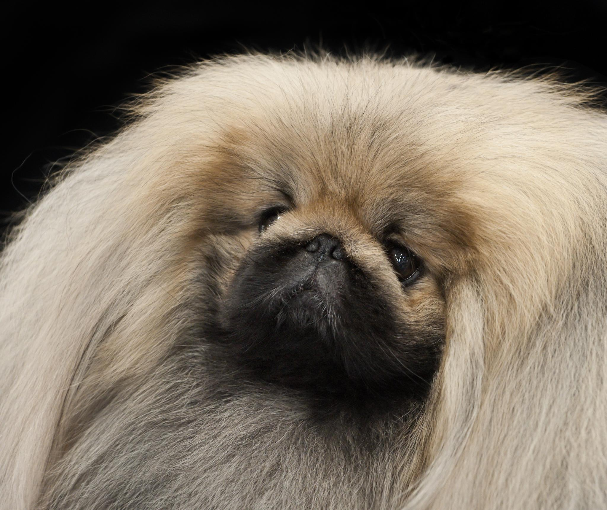 Image Result For Pekingese Poodle Puppies