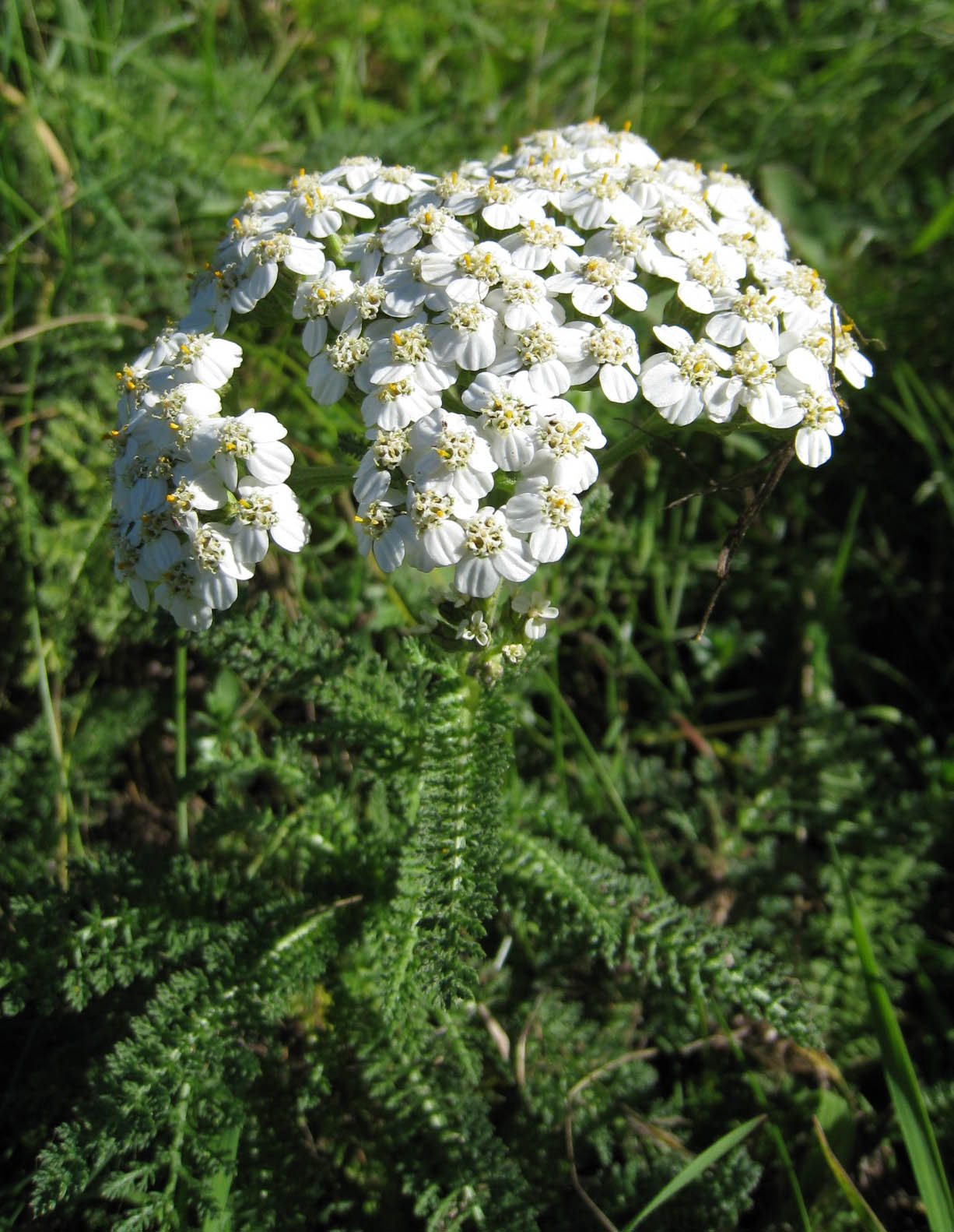 Achillea millefolium (yarrow).jpg