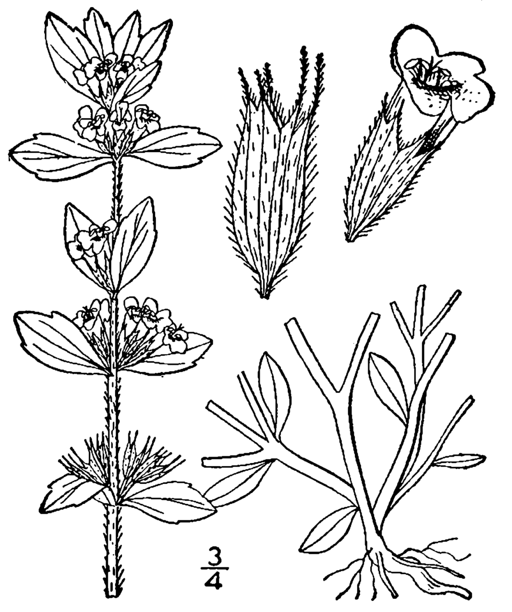 File Acinos Arvensis Drawing Png Wikimedia Commons