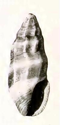Agathotoma quadriseriata 001.jpg