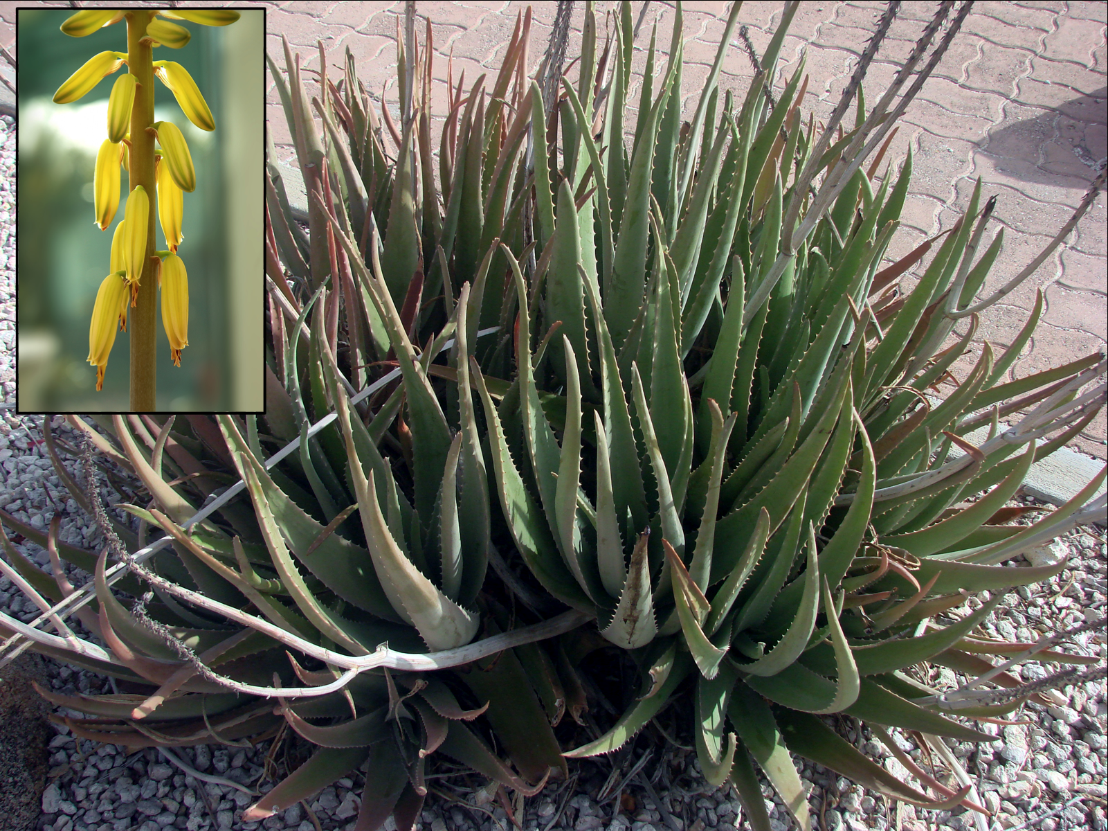 File:Aloe vera flower inset.png  Wikipedia