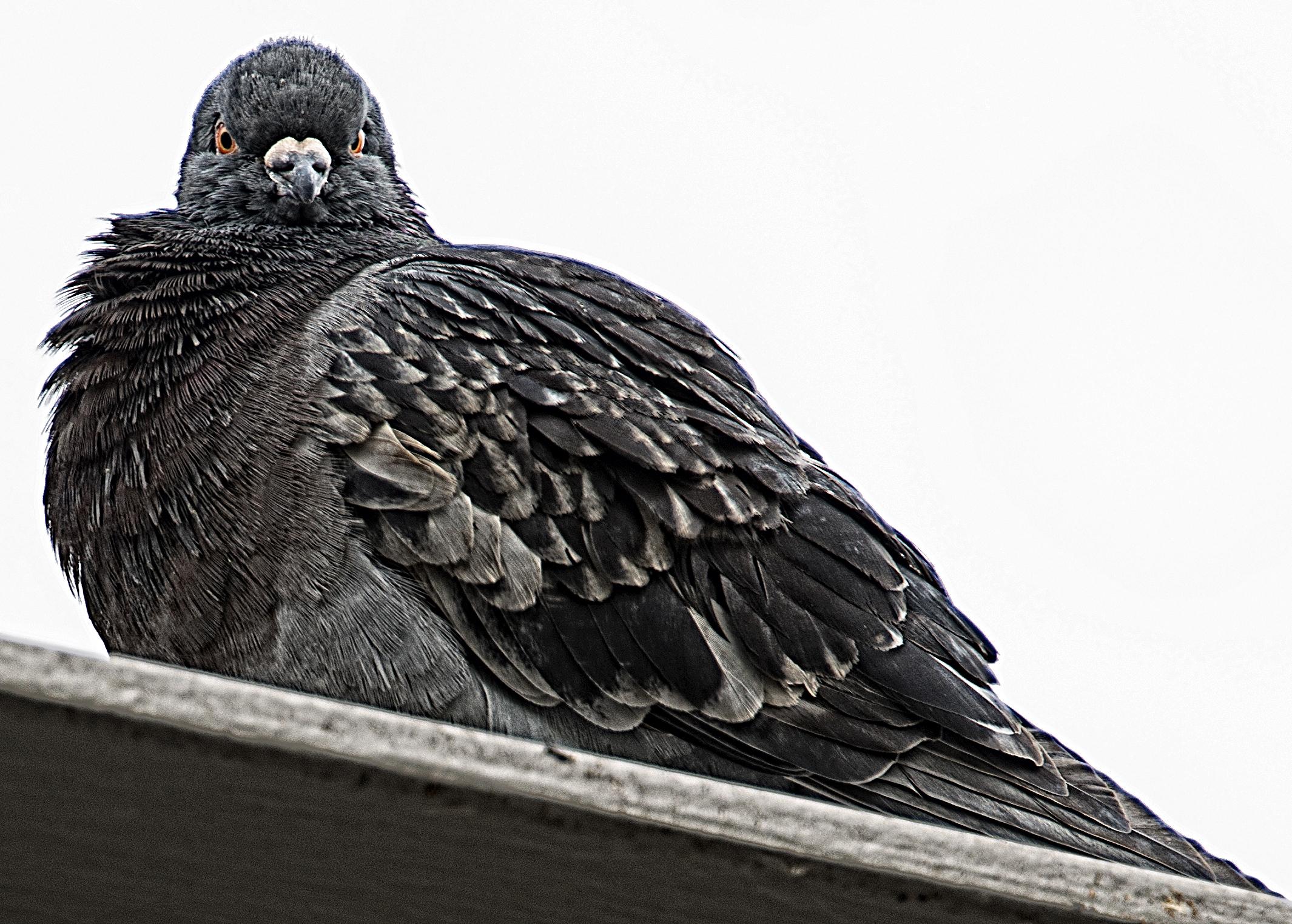 angry pigeon - photo #3