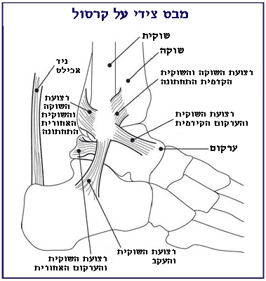 File:Ankle.heb.PNG