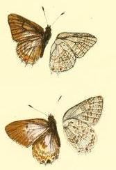 Anthene butleri.JPG