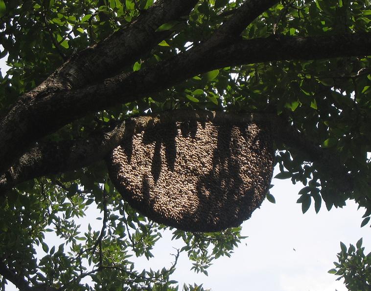 படிமம்:Apis dorsata nest.jpg